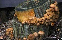 Сегодня мы поговорим о том. как самостоятельно выращивать или культивировать грибы опята в домашних условиях. Также рассмотрим описание мет...