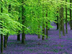Bluebells under trees.