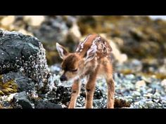 @Alexis Panopoulos Roman Have you seen this video of a newborn fawn? SO presh!