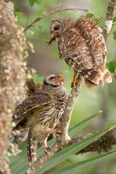 Barred Owls by David Chauvin on 500px, A Barred Owl parent feeds a crawfish to a fledgling. Crawfish make up large part of their diet in the spring in south Louisiana.