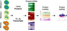 #JoP: The protein expression landscape of mitosis and meiosis in diploid budding yeast