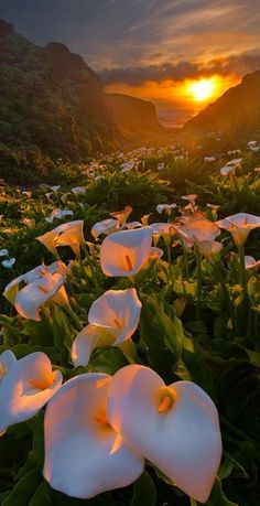 Calla Lilies growing in a valley leading to the beach ~ Big Sur, California