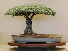 Image result for pierneef bonsai