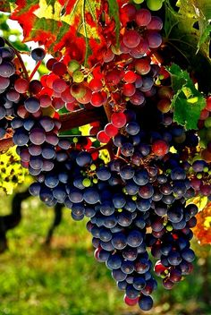 Cabernet Sauvignon grapes in Bordeaux, Aquitaine