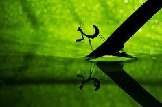Praying Mantis by Basheer Sheick-Yousif