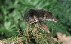 Common Shrew - occurs on the riverside and is occasionally seen