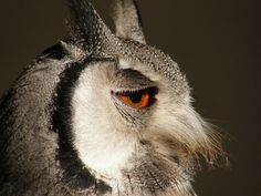 white faced scops owl by belgianchocolate, via Flickr