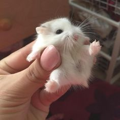 Teeny tiny hamster the size of a walnut <3