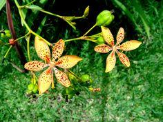 Pequena amarela pintada --{ Flowers }--