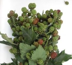 Black Berries, thornless