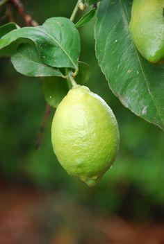 Limão verde limão