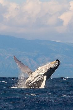 12 of the World's Most Critically Endangered Species Beautiful Creatures, Animals Beautiful, Voyage Canada, Rare Animals, Strange Animals, Pet Rats, Blue Whale, Humpback Whale, Killer Whales