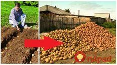 Všetci sa divili, že sadíme zemiaky v auguste: Keď susedia videli úrodu o 60 dní, tento rok neváhajú ani sekundu – stačí to spraviť takto! Dog Food Recipes, Gardening, Pergola, Landscape, Crafts, Inspiration, Hydroponics, Biblical Inspiration, Scenery