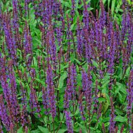 Sage - perennial, drought tolerant. Plants spread 1-2' wide and ~ 2' high.