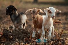 I love goats. Goats are pets, not food. Cute Baby Animals, Farm Animals, Animals And Pets, Beautiful Creatures, Animals Beautiful, Cute Goats, Mini Goats, Baby Goats, Tier Fotos