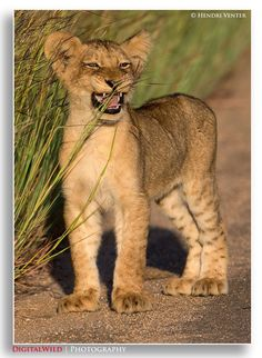 ♕ M Lion Cub by Hendri Venter on 500px