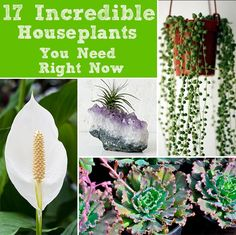 17 Incredible Houseplants You Need Right Now: Fire Pencil Cactus - Starfish Succulent - String of Pearls - Echeveria Blue Curls - Air Plants - Sensitive Plants