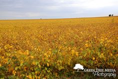 golden seas... #fall #soybeans #fields #harvest #photography
