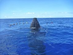 Welcome to the whale season in French Polynesia ! You dream to swim with them ?! Well, many aqua hiking are organized until the end of October.   Picture from Isabelle Petiot