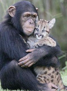 Chimpanezee & Cat Hugging