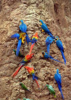 Macaws and Mealy Amazon at a clay lick Tambopata National Reserve, Peru