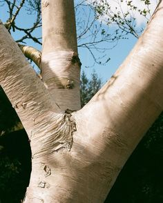 Lovely bit of spring time Silver Birch at RHS Rosemoore with @the_lunch_bell (primary school teacher & jolly good cook - go say hello). Looking forward to all the leaves coming out over the next few weeks.     #analog #35mm #film #thefilmcommunity #shootfilm #filmisnotdead #analogue #liveauthentic #film #filmphotography #필름 #フィルム #胶片 #필름사진 #フィルム写真 #пленка #birchtree #tree #nature #spring #silverbirch