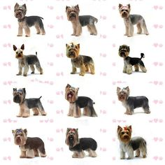 Some dogs have long silky coats - Yorkshire Terriers and Maltese by way of example - and these need special care. They have little protective undercoa. Dog Grooming Styles, Dog Grooming Shop, Dog Grooming Salons, Yorkies, Yorkie Puppy, Yorky Terrier, Schnauzer Grooming, Yorkie Haircuts, Cutest Animals