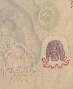 ハナクラゲモドキ(別写本)