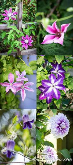 Want to learn how to grow Clematis? This Clematis care guide has everything you need to know. Tips on planting, pruning and the best varieties so that you can have beautiful Clematis flowers in your garden. Clematis Care, Blue Clematis, Clematis Plants, Autumn Clematis, Garden Plants, Clematis Trellis, Shade Garden, House Plants, Garden Trellis
