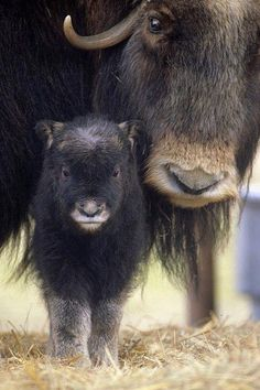 Closeup Of Muskox Cow WCalf Captive Alaska Wildlife Conservation Center Sc Alaska Spring Canvas Art - Doug Lindstrand Design Pics x Nature Animals, Farm Animals, Animals And Pets, Cute Animals, Wild Animals, Wildlife Nature, Funny Animals, Beautiful Creatures, Animals Beautiful