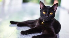 Black Cat Facts Origin and Characteristics - Catsfud Names For Black Cats, Cat Names, Black Cat Personality, Maine Coon, Black Cat Breeds, Different Breeds Of Cats, Fluffy Black Cat, Grand Chat, Black Cat Appreciation Day