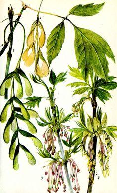 Клен ясенелистный, или печуна, клен американский  Acer negundo l.