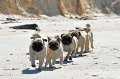 Pugs in a line!