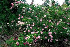 This smaller Damask rose (Ispahan) is planted in the orchard. Tough, and adapted to hot climates, it is planted at the end of a row of fruit trees. Very strong scent. The Antique Rose Emporium Rose Hedge, Damask Rose, Heirloom Roses, Shrub Roses, Antique Roses, Fruit Trees, Cut Flowers, Rose Petals, Hedges
