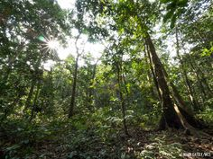 canopy forest of the congo - Google Search