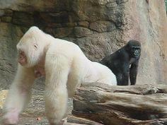 Snowflake the Gorilla, Barcelona Zoo (Equatorial Guinea, 1964 - Barcelona, Borneo Orangutan, Chimpanzee, Albino Gorilla, Rare Albino Animals, Safari, Dian Fossey, Monkey Art, Albinism, Monkey Business