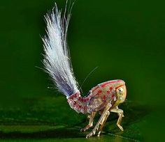 Crazy-Looking exotic insects animals beautiful, beautiful bugs, beautiful creatures, amazing nature Cool Insects, Bugs And Insects, Weird Insects, Beautiful Creatures, Animals Beautiful, South American Rainforest, Especie Animal, Animal Facts, Cool Bugs