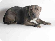 San Pedro, CA - Pit Bull Terrier. Meet AIMEE, a dog for adoption. http://www.adoptapet.com/pet/13110093-san-pedro-california-pit-bull-terrier