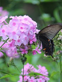 【2015年8月下旬撮影】 夏の暑さが過ぎ去り、元気を取り戻し始めたお庭の植物達。