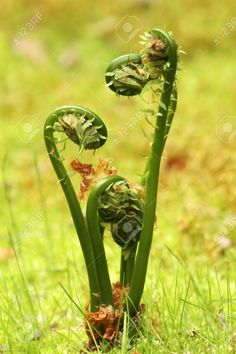ferns in spring - Google Search