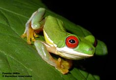 Hylid frog, Duellmanohyla rufioculis, from Costa Rica by Daniel Solano via  Instituto Nacional de Biodiversidad Costa Rica (INBio) (cc-by-nc-sa): http://eol.org/data_objects/13128264