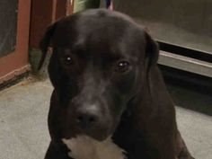 Manhattan Center HAWAII – A1040173 FEMALE, BLACK / WHITE, AM PIT BULL TER MIX, 2 yrs STRAY – ONHOLDHERE, HOLD FOR ID Reason OWN ARREST Intake condition UNSPECIFIE Intake Date 06/15/2015