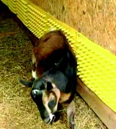 #goatvet likes providing scratching posts for goats - like this one