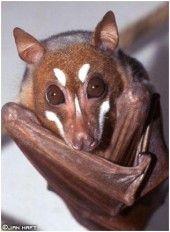 Mindoro Stripe-faced Fruit Bat (flying fox): the Philippines........https://www.instagram.com/mixtape_covers_vektfxdesigns/