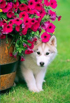 Springtime flowers and a cute husky puppy!