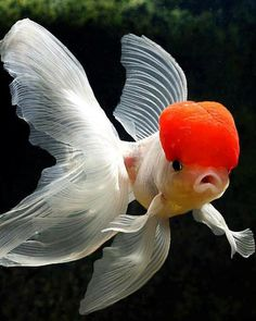 Goldfish Fact: Did you know that goldfish have a memory of at least 3 months. Find out 14 other goldfish facts here! Goldfish Types, Goldfish Tank, Pretty Fish, Beautiful Fish, Aquascaping, Oranda Goldfish, Freshwater Aquarium Fish, Underwater Creatures, Fish Swimming