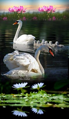 Swan image photo montage 4 images blend to create a single art image Beautiful Love Pictures, Beautiful Swan, Beautiful Birds, Animals Beautiful, Swan Pictures, Bird Pictures, Nature Pictures, Vogel Gif, Swan Painting
