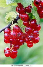 Resultado de imagen de red currant bush