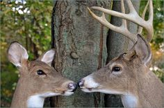 Photo of Buck and doe whitetail deer nose to nose.
