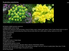 Herbaceous Perennials, Common Names, Downy, Spring Green, Green Flowers, Tulips, Bloom, Herbs, Tulip